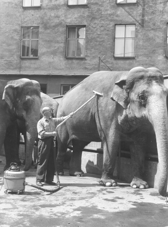 CleaningElephant_1955